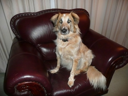 Freckle the Border Heeler sitting on a leather chair