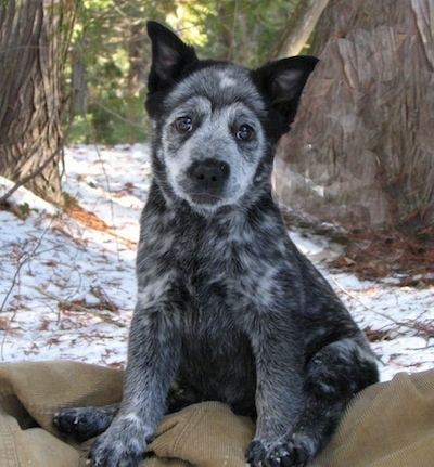 Koal the Border Heeler Puppy sitting on a corduroy jacket in front of a snowy landscape