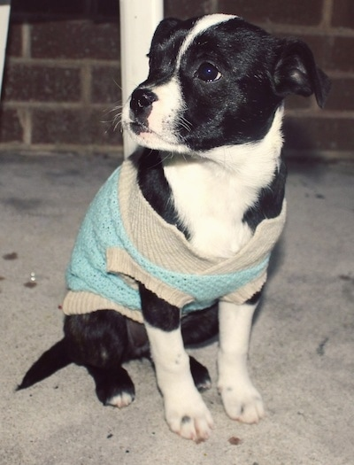The front left side of a black with white Bossie puppy that is wearing a sweater and it is sitting on a porch, under a table.