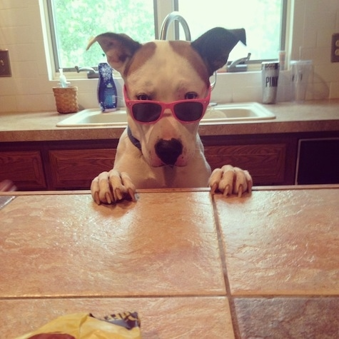 Winston the Boxsky jumped up at a countertop with sunglasses on