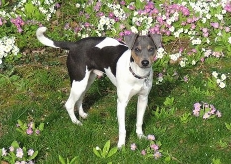 Izy the Brazilian Terrier standing in front of a bed of purple and white flowers