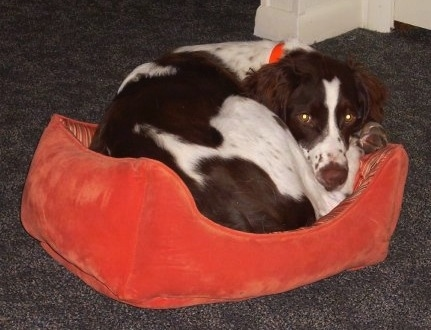 waylon jennings the brittany spaniel laying in a ball in a red dog bed