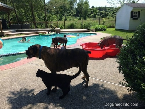 Bruno the Boxer standing next to a cat. Spencer the Pit Bull Terrier in a small pool that is poolside. Mia the American Bully Pit near the pool being pet by one of the kids