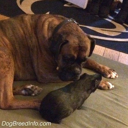 Bruno the Boxer laying on a blanket next to Bruce the Guinea Pig