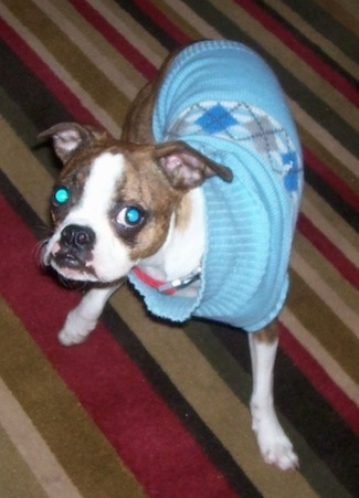 Topdown view of the front right side of a brown brindle and white Brusston that is wearing a baby blue sweater and it is standing across a rug
