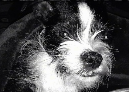 Black and white head shot of Bigalow the Brusston dog