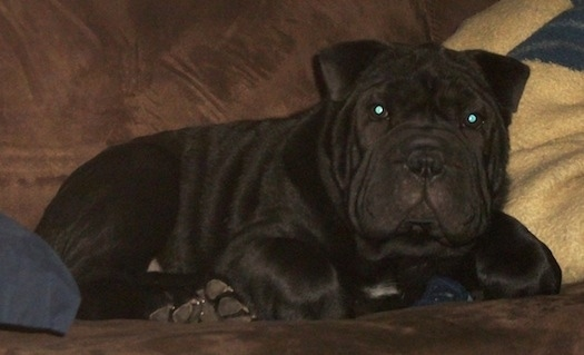 Bull Pei Dog Breed Information And Pictures