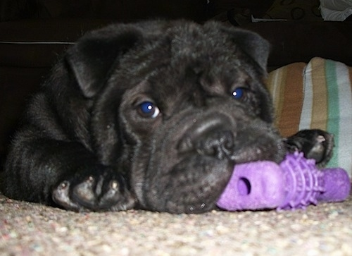 Close Up - Matilda the Bull-Pei laying on a carpet with a purple toy in its mouth