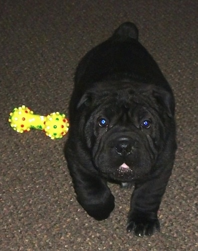Matilda the Bull-Pei Puppy walking next to a dog toy