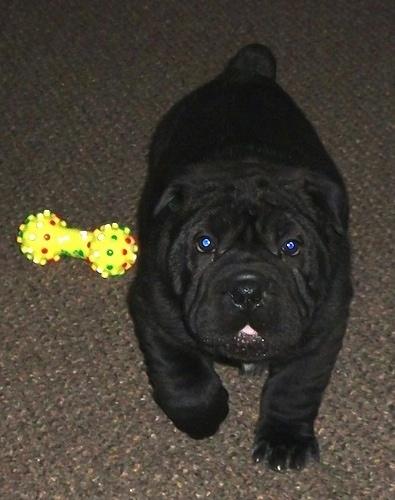 Bull Pei Puppy