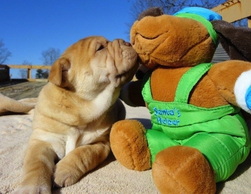 Bull-Pei puppy sniffing the face of a plush dog that has the words 'Santas Helper' on it