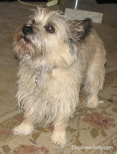 Tobe the Cairn Terrier is standing on a tan rug and looking up