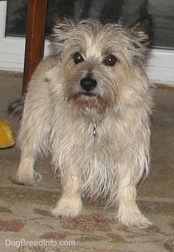 Tobe the Cairn Terrier is standing under a table