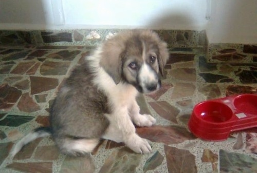 Lion the Caucasian Sheepdog puppy sitting next to an empty red dog food bowl and looking at the camera holder