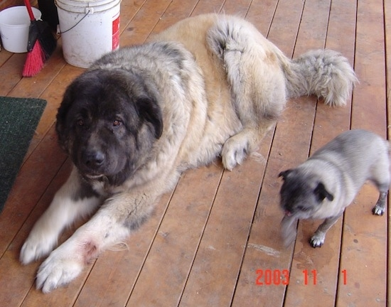 Boris the Caucasian Sheepdog laying on a hardwood floor and A Pug walking next to it