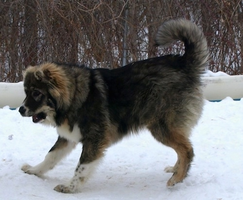 Dolly the Caucasian Shepherd Dog puppy running around playing in snow with her mouth open