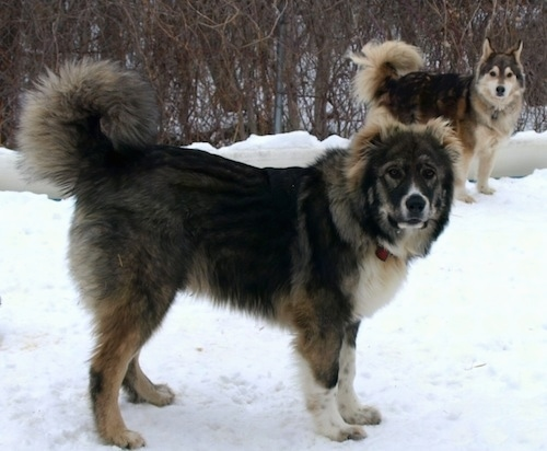 Dolly the Caucasian Shepherd Dog puppy and Kody the Shepherd/Husky mix are standing in the snow and looking at the camera holder