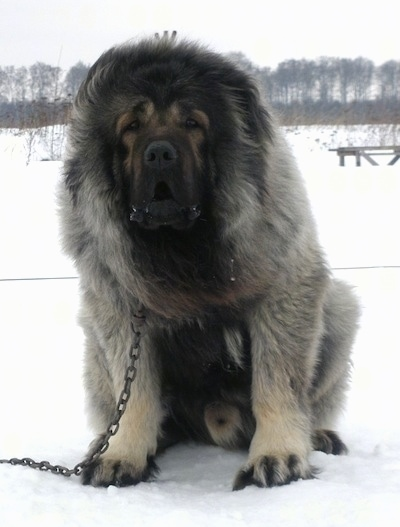 Vastelin the Caucasian Sheepdog is sitting outside in snow with its mouth open and looking at the camera holder while on a chain