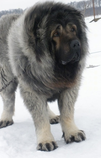 Vastelin the Caucasian Shepherd Dog standing in snow and looking to the right