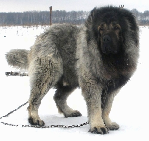 Vastelin the Caucasian Sheepdog is standing outside in snow and looking to the left while on a chain