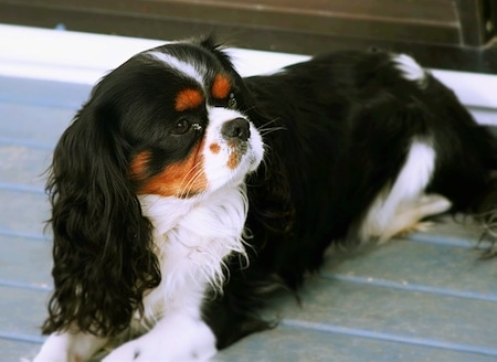 Cavalier king charles spaniel dog breed pictures 1 aslan the cavalier king charles spaniel is laying on a wooden deck and looking to the thecheapjerseys Images