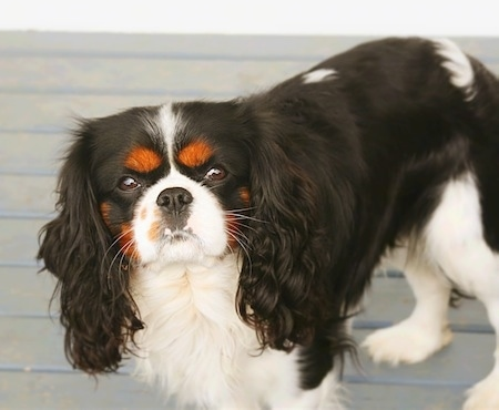 Aslan the Cavalier King Charles Spaniel is standing on a deck