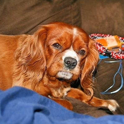 Ruby the Cavalier King Charles Spaniel is laying on a couch with a blue blanket in front of her