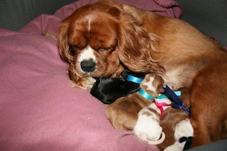 Ruby the Cavalier King Charles Spaniel is sleeping on a pillow and her litter of puppies are nursing