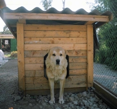 Deja the Central Asian Shepherd is halfway out of a dog house