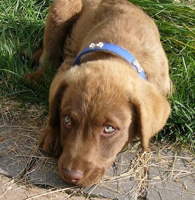 Odin the Chesapeake Bay Retriever Puppy is outside laying on grass