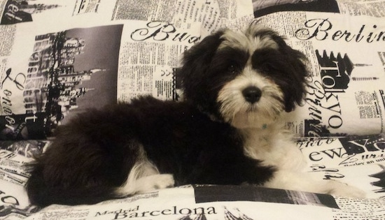 Flash Gordon the Chi-Chi Puppy laying on a newspaper patterned bed and looking at the camera holder