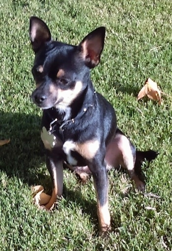 Max the black and tan Chihuahua is sitting outside in a field. There is a leaf behind him
