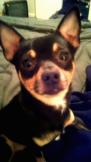 Close Up - Max the black and tan Chihuahua is sitting on a bed and looking at the camera