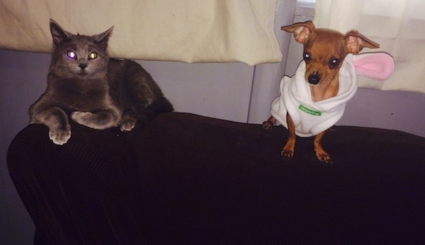 Louis Valentino the Chihuahua wearing a rabbit hoodie and sitting on the back of a couch next to a gray cat with two different color eyes