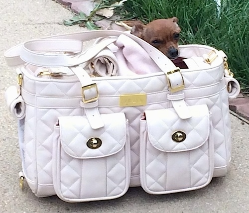 Louis Valentino the Chihuahua is in a white leather purse that is on the sidewalk