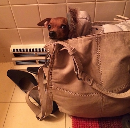Louis Valentino the Chihuahua is in a bathroom inside of a tan leather purse wearing a hoody coat and looking at the camera holder