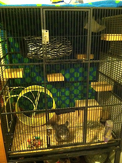 A young Chinchilla is standing in front of the door to it cage and it is looking out.
