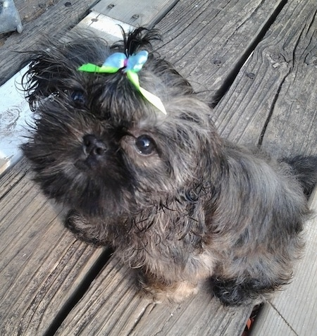 Izzy Bitsy Roberts the Chinese Imperial Dog as a puppy is sitting on a wooden porch with a blue and green ribbon in her hair and she is a little bit wet