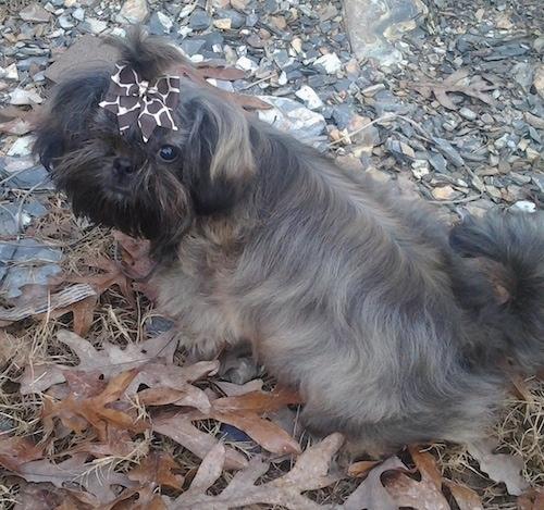 Izzy Bitsy Roberts the Chinese Imperial Dog as a puppy with a Giraffe print ribbon in her hair sitting on a rocky leafy surface looking back and up towards the camera