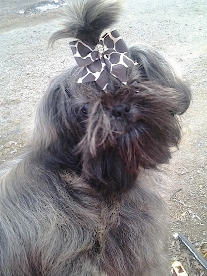 Izzy Bitsy Roberts the Chinese Imperial Dog, with a Giraffe print ribbon in her hair looking back at the camera holder