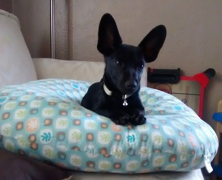 Batman the black short-haired Chiweenie is laying on a pillow on a couch. His ears are very large and bat-like sticking straight up.