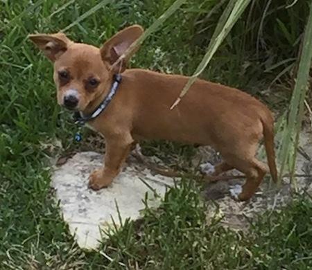 Chihuahua Dachshund Mix Chiweenie Puppy
