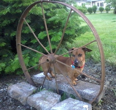Chevy the Chweenie is standing in a garden behind a rusted steel wheel. He is brown with black tips and big drop ears.
