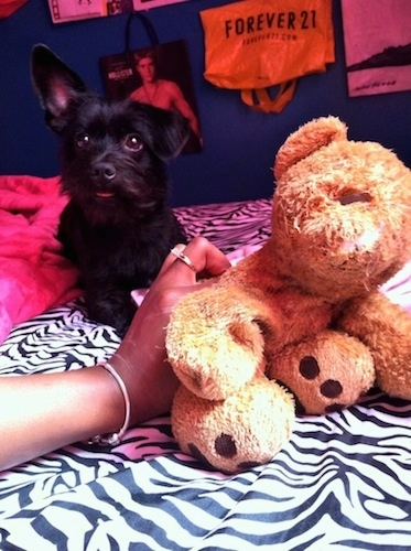 Coco the black Chizer as a puppy laying on a zebra print blanket and next to a stuffed bear with a hand holding the bear in the picture with a Forever 21 and a Hollister store bag hanging on the wall behind them