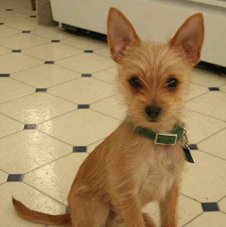 long hair chihuahua yorkie mix chorkie dog breed pictures 1 1347