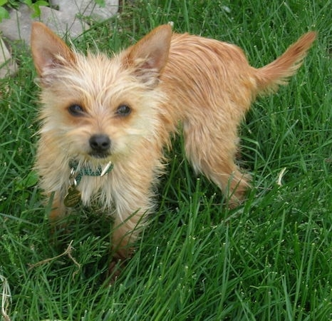 Chorkie Dog Breed Pictures