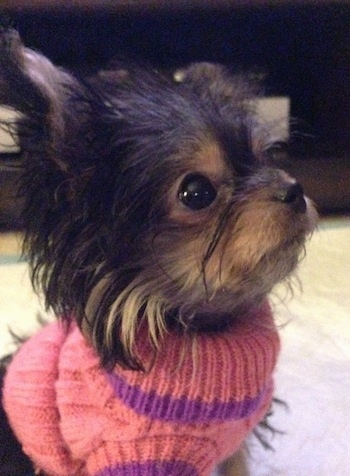 Close Up - Wren the very small longhaired black and tan Chorkie is ...