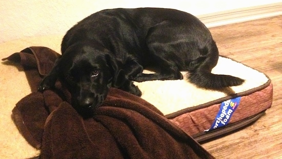 Emma the Clumber Lab is laying on an orthopedic foam dog bed with her head on a brown towel