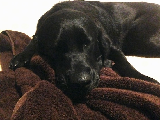 Close Up - Emma the Clumber Lab is sleeping on a brown towel
