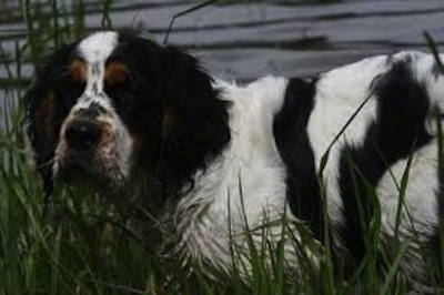 Close Up - Sophia the Cluminger Spaniel is outside in tall grass and looking at the camera holder in front of a building